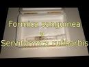 Formica sanguinea и Serviformica rufibarbis