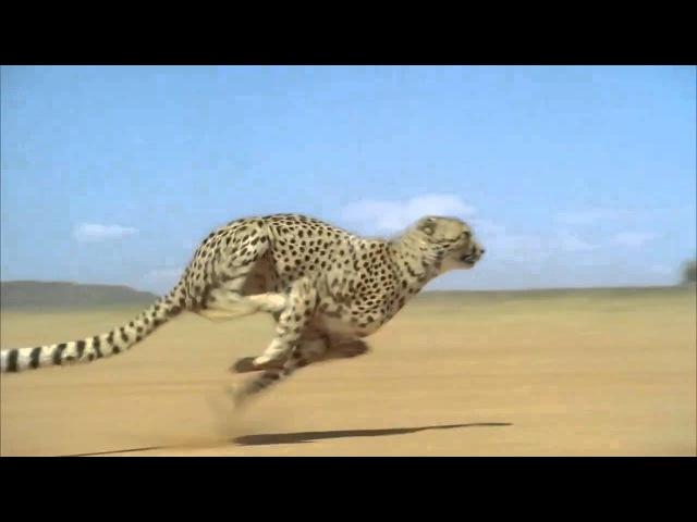 Гепард бежит со скоростью 120 км в час