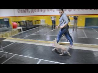 Hann Mirion et Tar-menel - Thai Ridgeback Puppy -Тайский риджбек щенок - FOR SALE