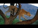 Атаки львов - Действительно смертельные схватки - Борьба льва с леопардом - Леопард убивает леопарда