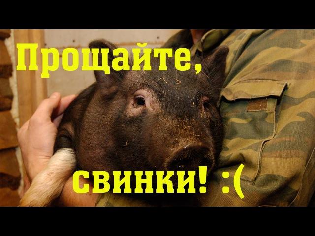 Про вьетнамских свиней и чуму