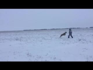 Охотник и косуля нападение ....
