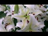 Ярослав Евдокимов - Белые лилии