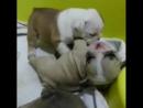 очень милые щенки