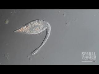 Хищные инфузории (Lacrymaria olor) βIØLØGY