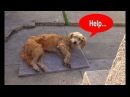 Hope For Paws Stray dog walks into a yard and then collapses