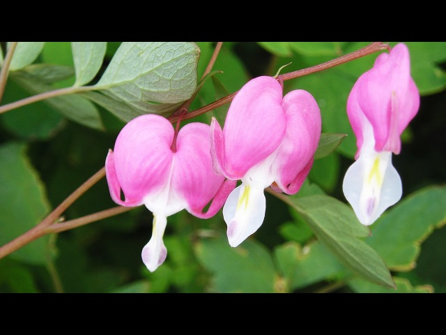 Как пересаживать разбитое сердце (цветок Дицентра, Dicentra)