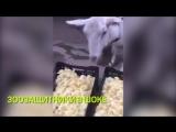 Кровожадная коза