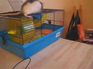 Прикол крыса силач