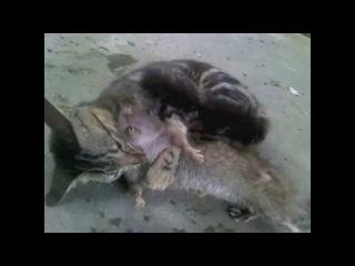 Кошка завалила крысу