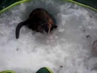 Улов крысы