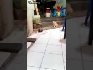 Крысы деруться перед кошкой
