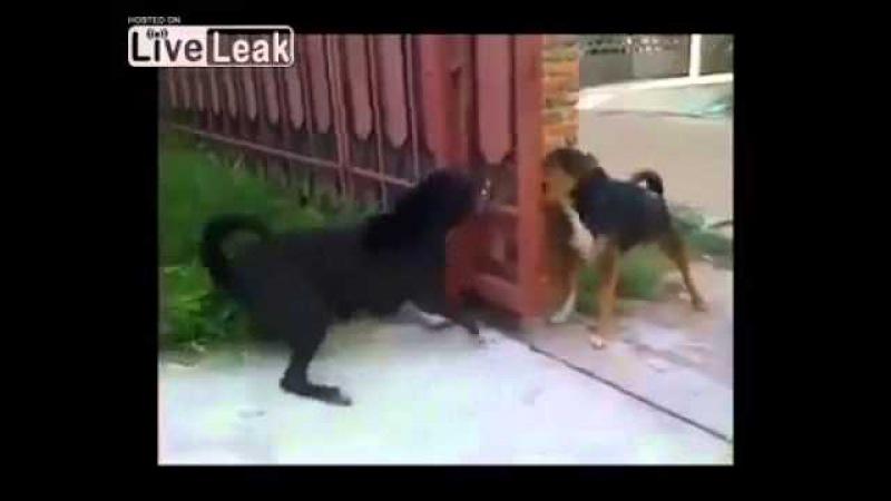Ainda bem que tinha um portão no meio desses cachorros