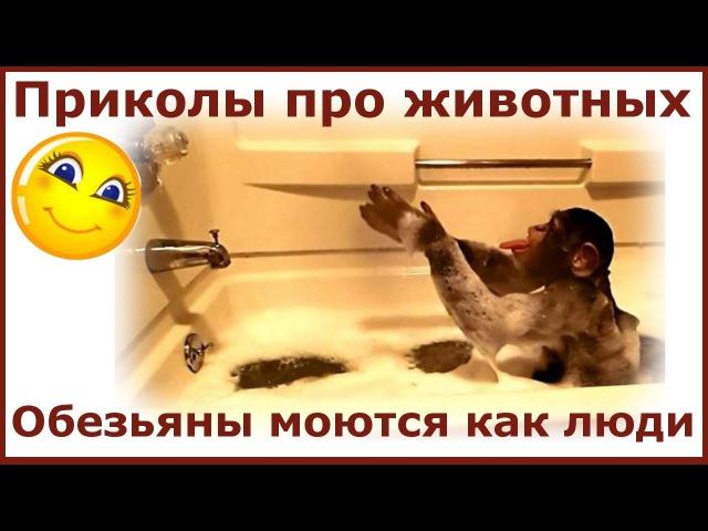 Приколы про животных. Обезьяны моются как люди. Fun with animals