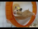 Funny hamsters in wheel videos Funny animals compilation 2016