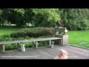 Как лиса зовет собаку поиграть(смотреть со звуком)