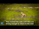 Две волчицы, в течение двух лет проходящие адаптацию к дикой природе, выпущены на волю в провинции Ганьсу.