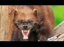 ВЕРСУС. РОСОМАХА! Её боятся волки и даже медведи
