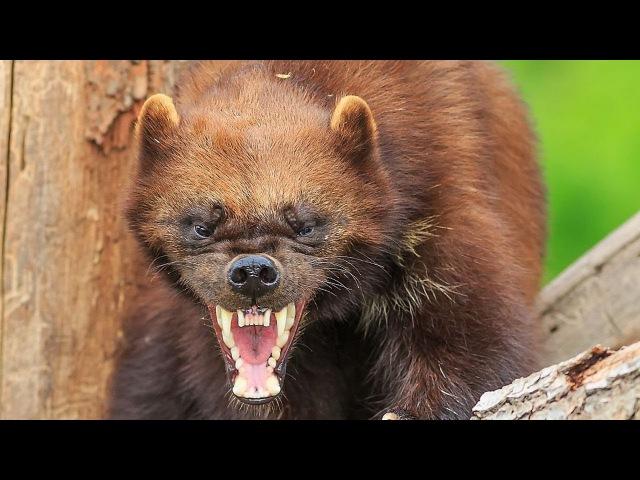 ВЕРСУС. РОСОМАХА! Её боятся волки и даже медведи » Freewka.com - Смотреть онлайн в хорощем качестве