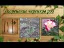 Корнесобственные розы. Выращивание из черенков