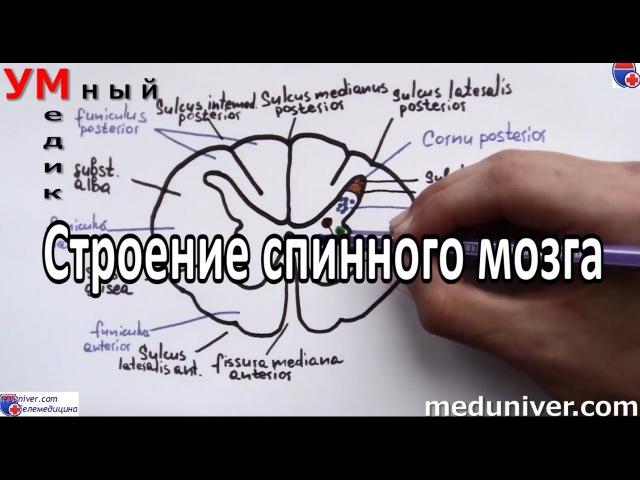 Спинной мозг / Medulla spinalis
