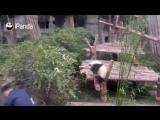 Панда в Китайском зоопарке