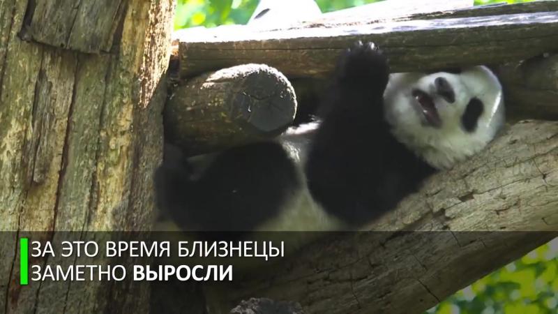 Панды-близнецы из венского зоопарка отпраздновали первый день рождения