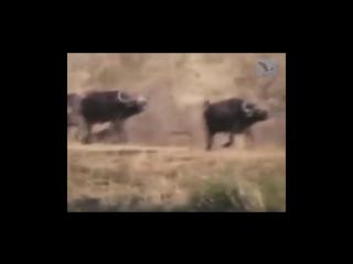 Озвучка превратила передачу о животных в остросюжетный триллер!