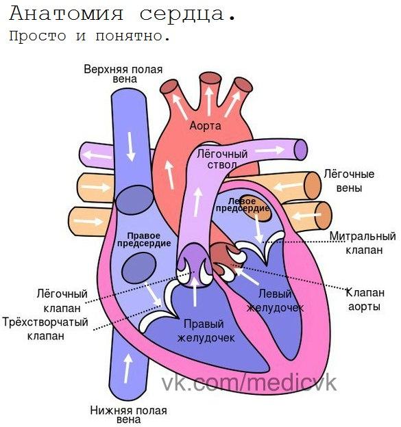 Simple Heart Anatomy Golfclub