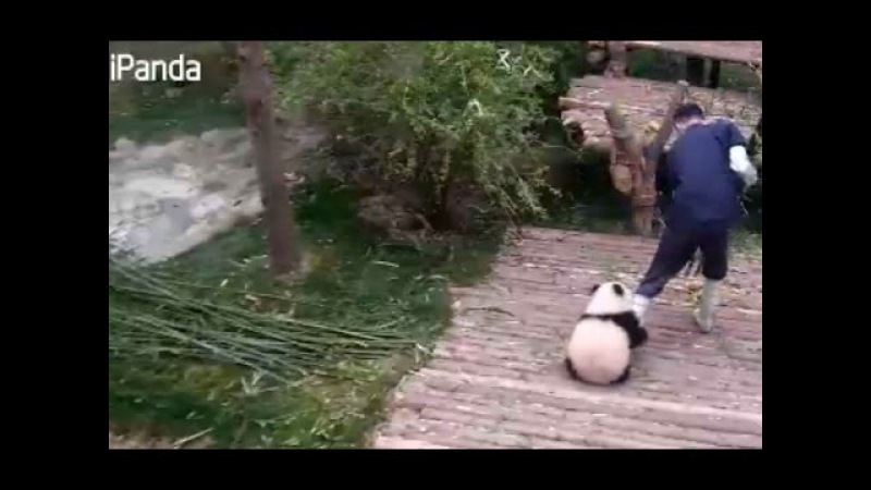 Cuddly and clingy: panda cub refuses to let go of caretaker's leg
