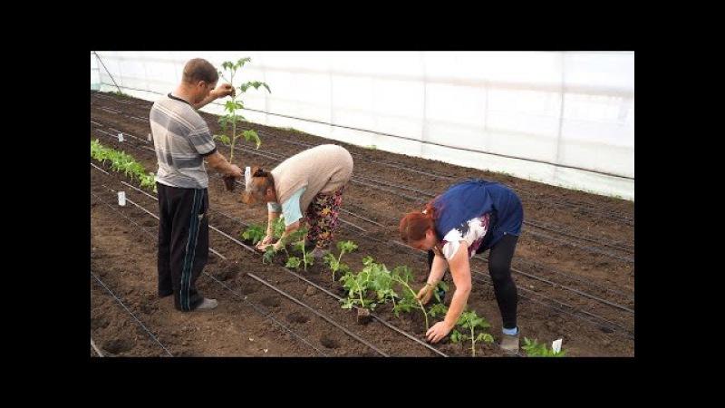 Способ посадки переросшей рассады томата