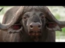 Животный мир. Месть буйвола. Дикий мир. Самые свирепые. Мощь быка. Мирный зверь