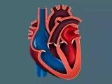 Анатомия Человека - Сердце