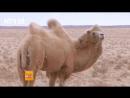 Верблюд ''То''. Двугорбый верблюд, или Бактриан ''Шуан Фэн То'', буквально ''Верблюд с женской грудью'', либо ''Бактрийский верб