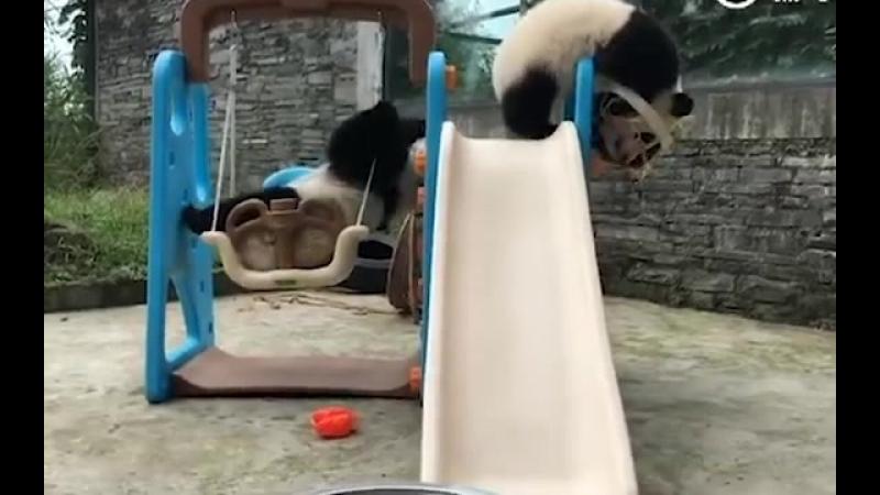 В Китае неуклюжая панда застряла в баскетбольном кольце