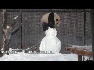Toronto Zoo Giant Panda vs. Snowman