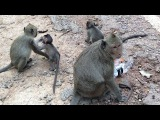 Baby Monkey - Cute baby monkey and mother monkey eating lotus fruit