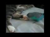 Попугай разговаривает с котом.