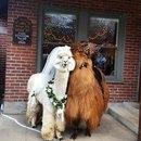 Терапевтический центр Mtn Peaks Therapy Llamas& Alpacas в американском штате Орегон з…