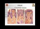Лекция №19. Строение органов полости рта. Лекция по гистологии.