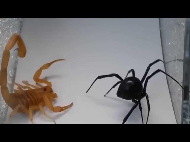 Битва чёрной вдовы и жёлтого скорпиона. Кто же победит?