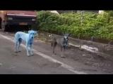 Собаки поголубели в Индии