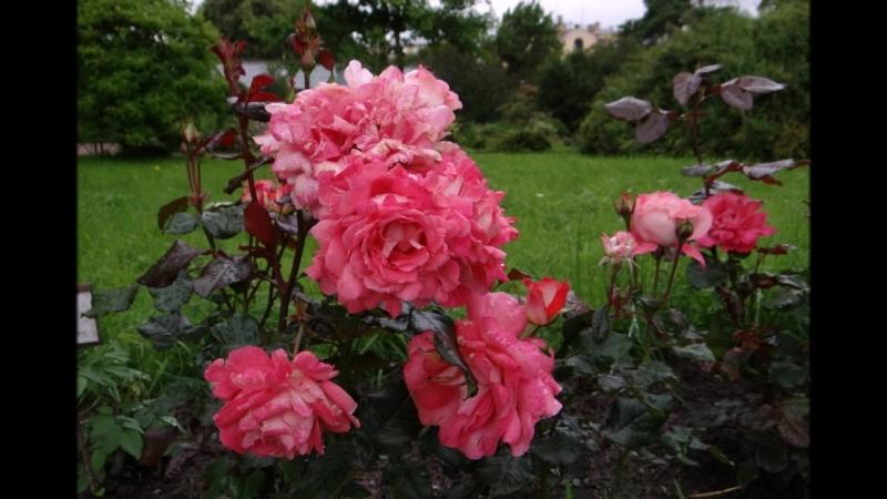 Розы в Ботаническом саду им.Петра Великого в Санкт-Петербурге. Слайд-Шоу Н.Кутиковой