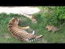 Тигрица Фрося и ее дети, ч.2, Парк львов Тайган. Tigress Frosya and her cubs, part 2