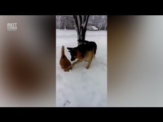 Собака градусник коту сделала и убежала