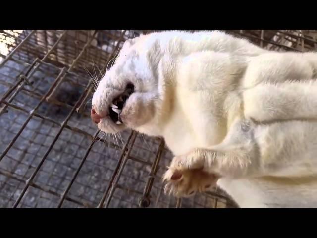 Как добывают мех на шубки..Расследование PETA