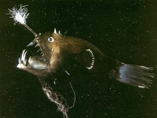Почему обитатели морских глубин в процессе эволюции приобрели такой ужасающий вид