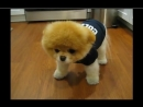 Boo - The Cutest Dog in the World - So Smart!