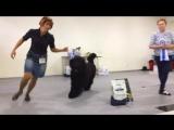 Ярче всех! Победа! Русский черный терьер.Грозовой Перевал, он же Борисыч. Санкт-Петербург, Россия