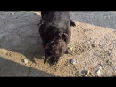 Питбуль vs Питбуль 18 собачьи бои